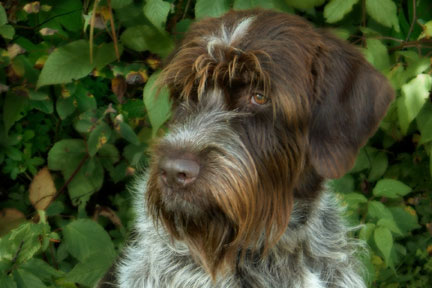 Lorinet.com : Wire-Haired Pointing Griffon Links